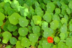 Cluster Green Leaves