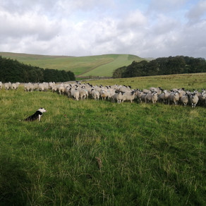 From Field to Finery - Summertime Sheep Shearing.