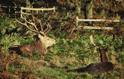 Old and young stags