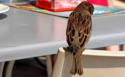 Sparrow on chair edge