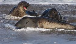 Seals on North sea coast 1