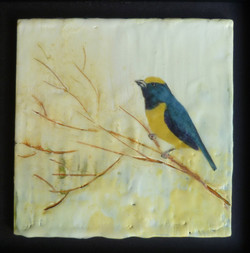 Blue and gold tanager