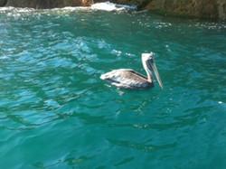 Pelican Rock + Snorkeling