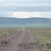 Wandering warthogs
