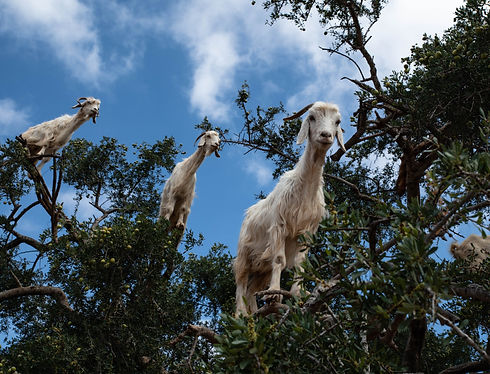 Goats%20in%20Morocco%20climb%20Argan%20trees%20to%20eat%20berries_edited.jpg