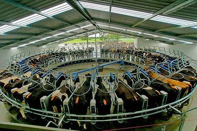 cow milking.jpg