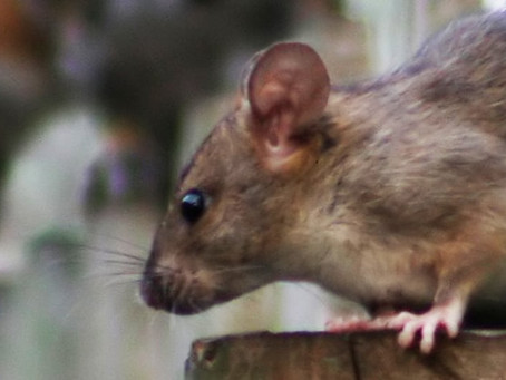RAT INFESTATIONS & VERMIN CONTROL