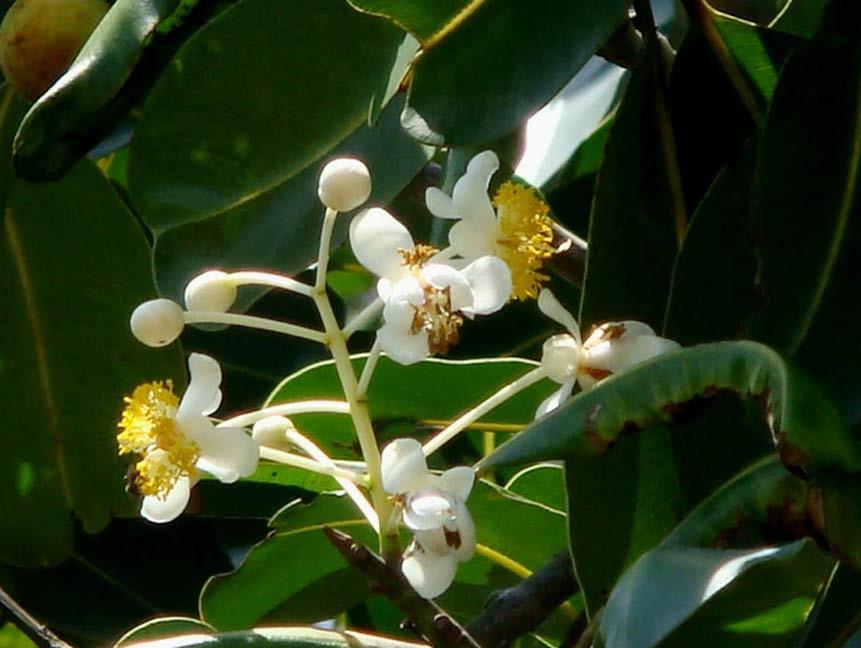 Calophyllum inophyllum, szerző: Ahmad Fuad Morad, copyright, flickr.com