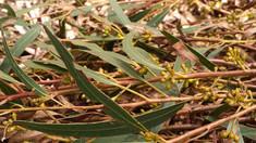 Eukaliptusz 2. rész: Smithii, a gyerekek eukaliptusza