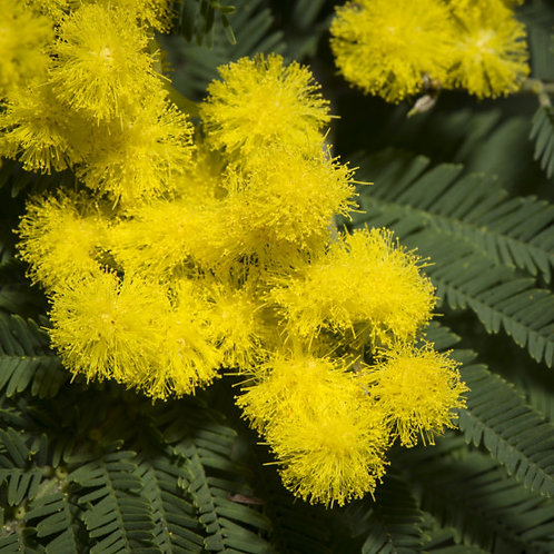 Mimóza (Acacia dealbata) abszolút - 50%-os