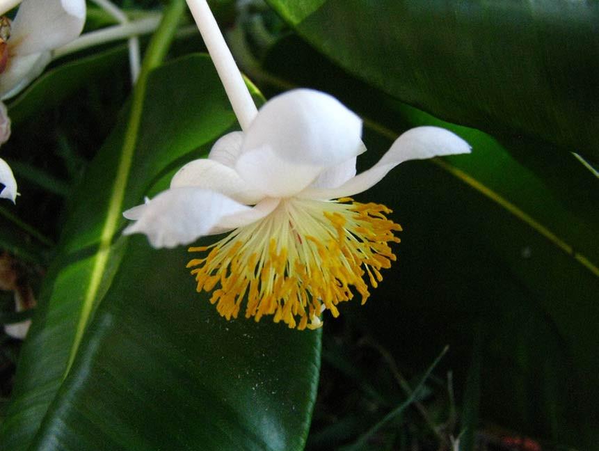 Calophyllum inophyllum virága – szerző: David Eickhoff, copyright, flickr.com