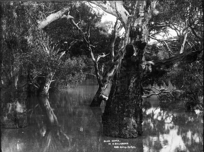 Borús, nedves őszi napok? A válasz: eukaliptusz. 1. rész a kék gumifa (Eucalyptus globulus)
