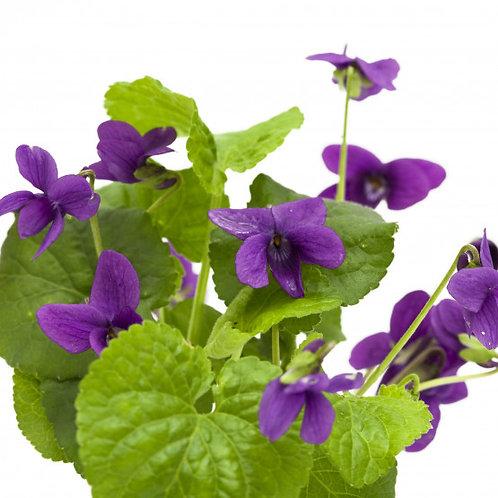 Illatos ibolya abszolút (Viola odorata)
