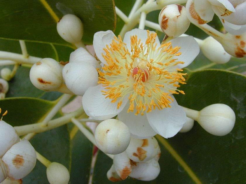 Calophyllum inophyllum azaz tamanu – szerző: Forest & Kim Starr, http://www.starrenvironmental.com/