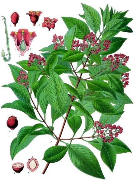 Santalum album, forrás: Wikipedia, Köhler's Medicinal Planzen