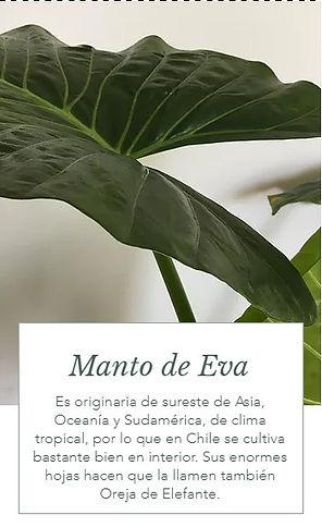 Manto de Eva.jpg