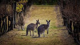 Kangaroos amongst the grape vines in a v