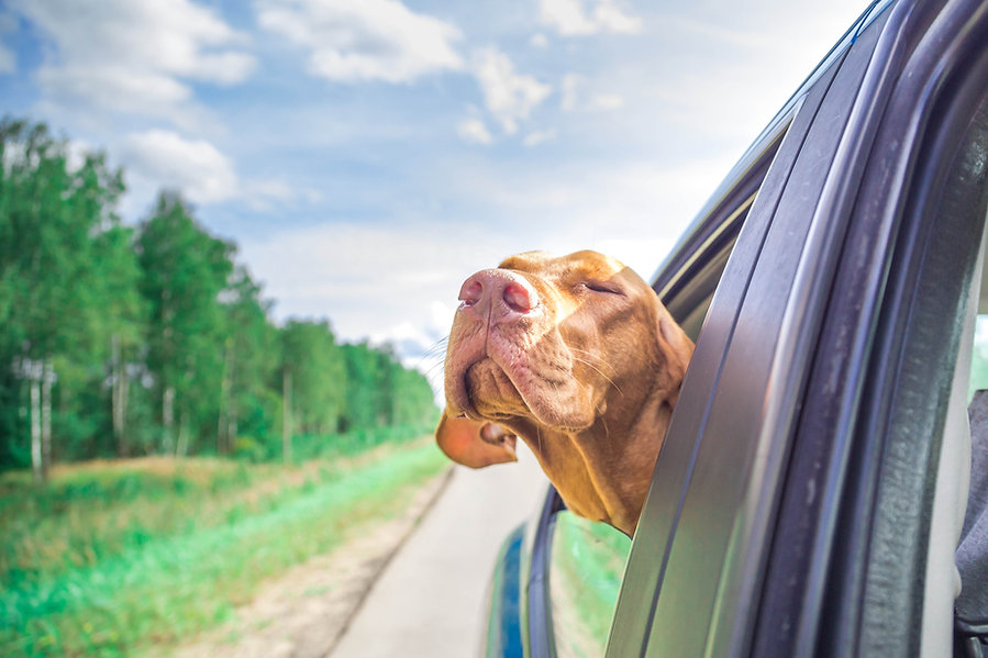 The dog looks out of the car.jpg
