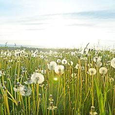 Field of Pollen and Allergens
