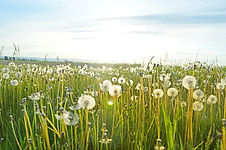 Dandelions, flowers, grass, sky, green, plants, nature