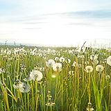 I campi di tarassaco