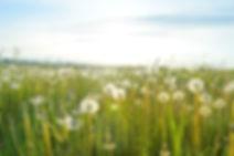 Löwenzahn Felder