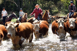 High-Country-cattle-are-moved-by-riders-on-horseback-6425507.jpg