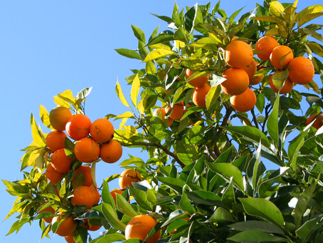 Caring for Citrus