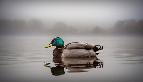 """""""Duck in Fog at Kinghorn Loch"""" - Photographic Print"""