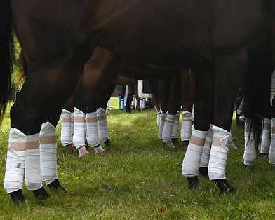 Horse legs in bandages