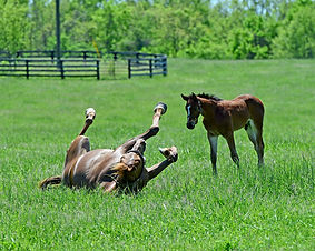 Mare rolling foal watching