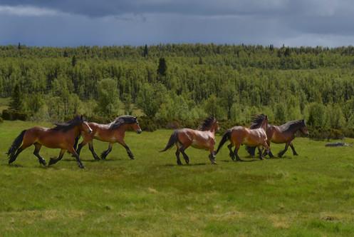 Hesteslepp på Lenningen