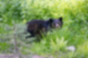 Fauna - Black Bear no tag.JPG