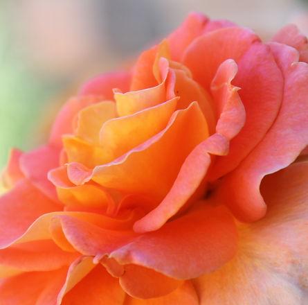 rose-2009241_1920.jpg