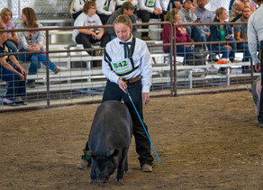 Beaverhead County Fair Awards and Ribbons for Market Hogs and Sheep