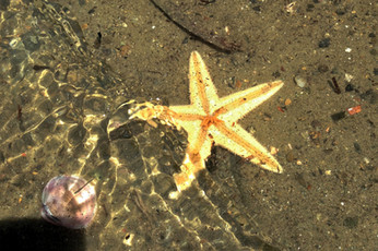 deniz yıldızı.JPG