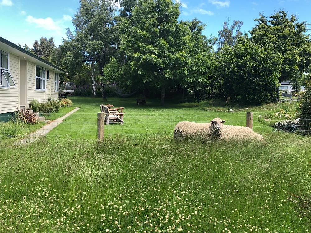 Lake Tekapo Accommodation with sheep