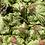 Thumbnail: Lettuce, Red Leaf - Ontario