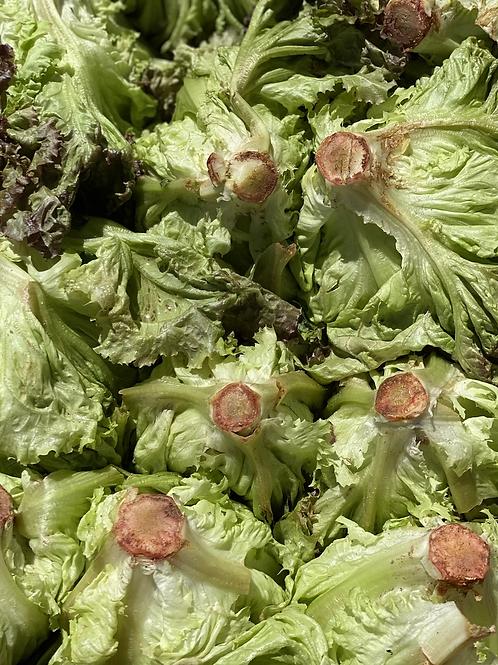 Lettuce, Red Leaf - Ontario