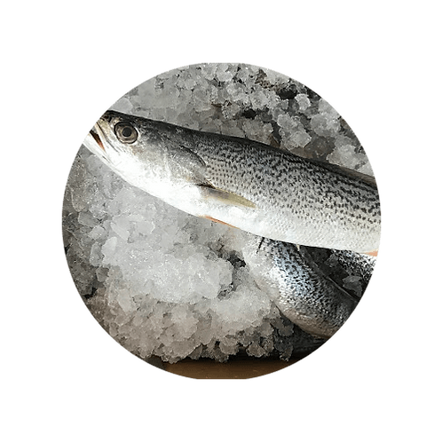 Fresh Weakfish