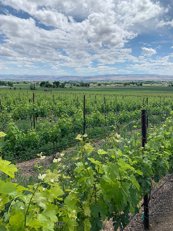 May 31st vineyard picture at Kerry Hill