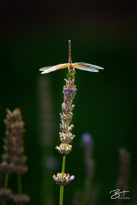 Dragon Fly on Kerry Hill Winery August 1