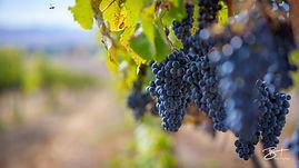 Merlot Grapes from RMHC .jpg