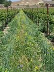 Row crop in between the vineyard.jpg