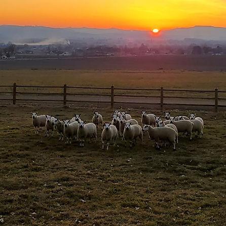 Sheep during sunset winter time 2020.jpg