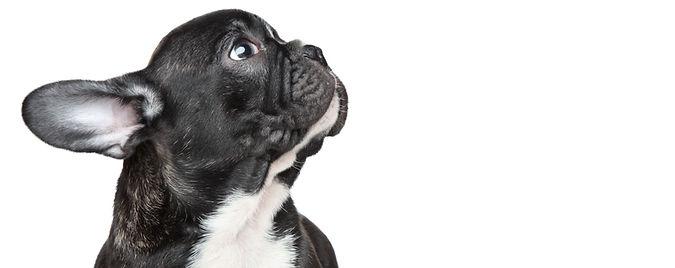 Hund, dyrlege i lom
