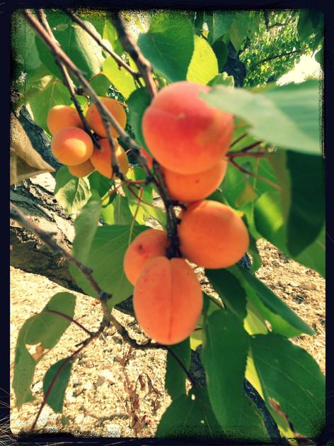 l'abricot, le fruit drômois de l'été