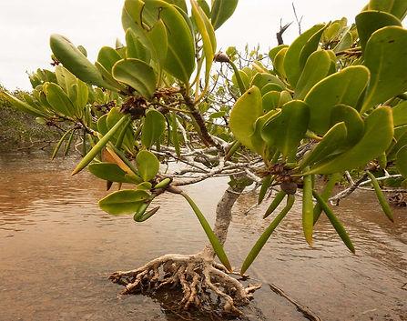 yellow mangrove.jpg