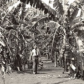 Doug & Mary Morton's banana grove circa