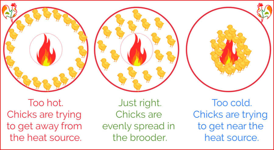 How to be sure your chicks are receiving the right amount of heat.